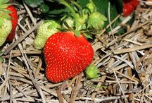 Dyrkning af grøntsager i bla halmballer