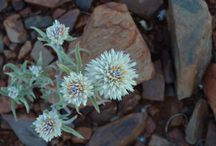 Some North West Australian Wild Flowers / I have an attraction to pretty flowers. Here are some that caught my eye. Sorry, I don't know what their names are. I just like them.