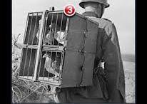 Mensajeras / Palomas mensajeras, Brieftauben, homing pigeons, pombos correios
