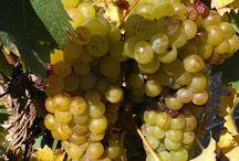 natura / pulcini uva ,campagna