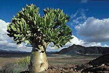 Botterboom (Buttertree)