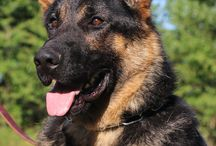 Fully Trained Adult German Shepherds / Kraftwerk K9 fully trained adult dogs are a wonderful asset to people who are not able to put in the time necessary to train a dog or raise a puppy. Hundreds of training hours are needed before a dog can pass the stringent requirements of a training degree.