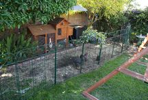 chooks yard