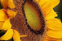 slunečnice - sunflower