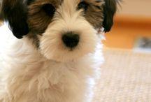inspiration | Tibetan Terriers!