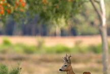 Roe deer / Roe deer in their habitat