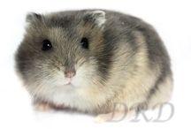 Blauw wildkleur Russische Dwerghamstertjes / Blauw wildkleur Russische Dwerghamstertjes www.derussischedwerghamster.nl #hamster #dwerghamster #russischedwerghamster
