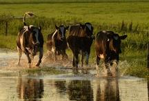 Springende koeien