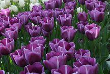 Tulipánvilág / Kedvenceim a tulipánok