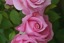 kwiaty rożowe w odcieniach
