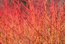Shrubs / Shrubs provide structure and year round interest to most gardens.  Shrubs can be wonderful in mixed borders.