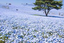Hitachi Seaside Park / Dans la préfectue d'Ibaraki au Japon se trouve un parc des plus relaxant et aux parterres de fleurs de toute beauté: Hitachi Seaside Park