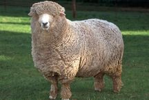 Sheep / by Stacy E