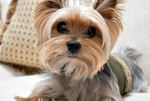 Yorkies / Ideas for my Yorkies when it comes to treats, toys and fashion :) / by Sherry Farmer