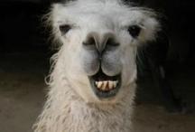 LLAMA drama.....Alpaca's too / LLAMA make you laugh with these cute little critters.