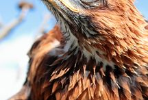 Eagles, Hawks, Falcons.
