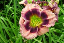 Daylilies- Miniature / by Kathy Green