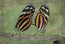 Lepidópteros / Ordem de insetos que inclui as borboletas, traças, e mariposas