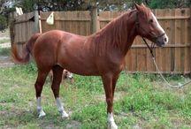 Le Florida Cracker Horse / Le Florida Cracker Horse, ou Chickasaw, qui est principalement élevé en Floride aux États Unis, est issu des premières importations de Barbes et de chevaux ibériques (gente d'Espagne, Sorraïa...) par les colons au XVIème siècle.