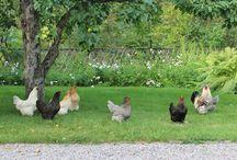 Erikas hus: Trädgården / #gammal #trädgård #grusgång #grindar #staket #byggnadsvård #äppelträd #perennrabatt #syrén #köksträdgård #pergola #odlingsbädd #trädgårdsbänk #trädgårdsbord #höns