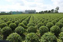 Buxus / Alkemade Plants kweekt al jaren hoge kwaliteit buxussen in eigen beheer.