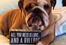 bulldog ❤️