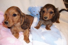 doxie / by shy sommers