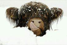 Cows & Buffalo