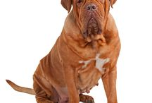 Dogue de Bordeaux / There are numerous theories about the origin the Dogue de Bordeaux. It may be descended from the Bulldog, Tibetan Mastiff and from the Greek and Roman Molossus, from mastiffs brought to Europe by the Alans, from the dogs of Aquitaine or from Spanish dogs from Burgos. See more at: http://www.noahsdogs.com/m/dogs/breed/Dogue-de-Bordeaux#sthash.wDNd4HLu.dpuf www.NoahsDogs.com