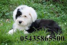 Satılık bobtail köpek / satılık bobtail köpek yavruları http://terrier.yavruilani.com/satilik-bobtail-kopek-yavrusu/