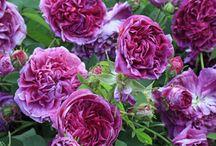 Rosiers galliques (Rosa gallica) / Les plus anciens rosiers de jardin, cultivés par les Grecs et les Romains. Ils sont capables de prospérer dans les sols pauvres et caillouteux. Tiges puissantes et dressées, munies de nombreux petits aiguillons. Feuillage plutôt rêche et de couleur sombre. Fleurs terminales solitaires ou regroupées par trois, parfumées. Les boutons sont bien ronds. Nombreuses nuances de coloris. Très résistants aux maladies et au froid (-30°C). Floraison non remontante.