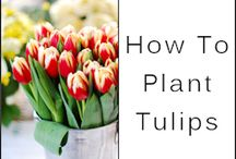 Planting tulips / Pin with tips and tricks about planting tulips.
