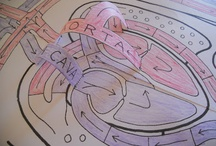 Anatomy - Circulatory System