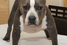 American bully, pitbull
