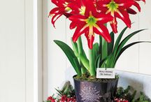 Amaryllis Gifts / Amaryllis is the most popular Christmas flower because it sets huge, trumpet-shaped blooms that add festive red tones to the house just in time for the holidays. Perfect for the gardener that misses their flowers in the midst of winter.