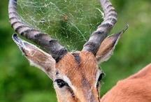 Antlers & Horns
