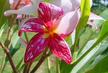 Flowers - Plumeria (My Favourite Flower) / by Tebetikan Langley