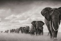 Elephants / The most majestic of creatures