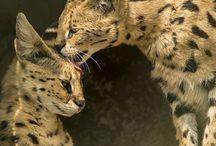 servals n more