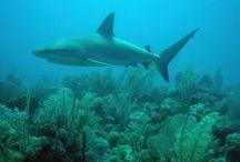 puzzle tiburon