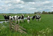 Weilanden Koeien ect en Boederijdieren / Love cows
