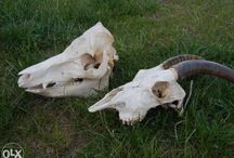 Anatomia Kóz / Goats Anatomy