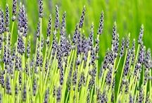 Lilac Like a Lavender