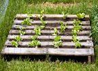 grow veges