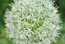 Bloembollen bij Breagle Garden / Allium, Tulpen,