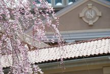 Nanina's Grounds / Nanina's in the Park Springtime and Cherry Blossooms