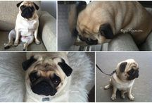 Stella the pug  / My pug Stella <3