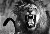 ☆ Lion ☆
