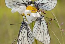 burterflys