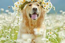 köpek golden